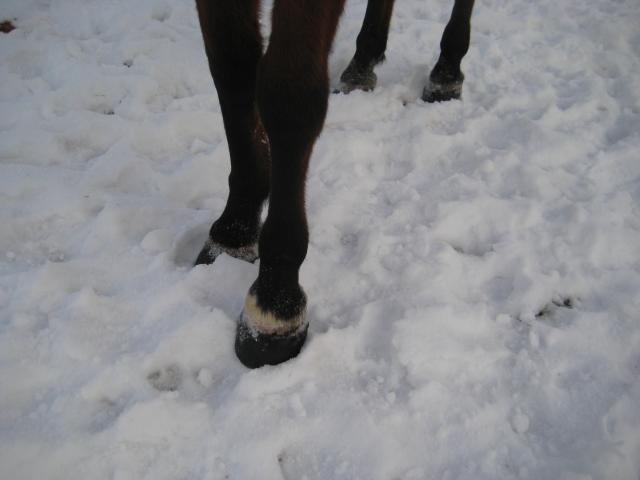 Horse hooves in snow